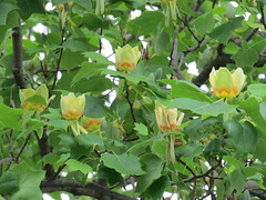 yellow poplar (tulip tree) (Cheryl Dunlop Molin) Tags: yellowpoplar tuliptree indianasstatetree liriodendrontulipifera tree treeblossoms greenflowers
