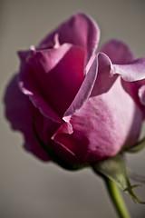 Pink Curl (dleany) Tags: 100mmf28l 5dmkii macro pink rosebud dof