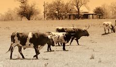 Fachwerk Homestead with Longhorns (austexican718) Tags: sepia rural centraltexas hillcountry longhorn cattle southwest animal farm ranch homestead gillespiecounty landscape range