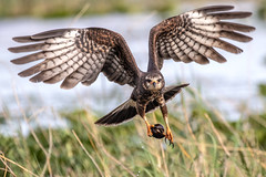 Snail Kite Inflight (dbadair) Tags: outdoor seaside raptor sky water nature wildlife 7dm2 ef100400mm canon florida bird endangered