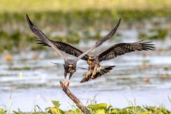 Pair or Snail Kites Landing Each with an Apple Snail (dbadair) Tags: outdoor seaside raptor sky water nature wildlife 7dm2 ef100400mm canon florida bird flight bif endangered