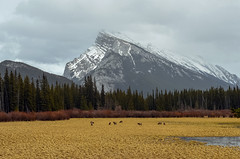 Mt Rundle and Elk (Robert Grove 2) Tags: elk banff canada april