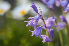 bluebells (Christine_S.) Tags: flowers flower sunlight bright sunset japan garden nature canon eos m5 mirrorless ef100mm hyacinthoides ブルーベル blossoms bokeh explore explored ngc npc coth5