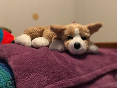 Cute corgi (Thunderstormnightmare) Tags: flickrexplore flickr explore april spring happy blanket bedroom bed purple challenge unlimitedphotos unlimitedpictures pretty cute corgi