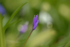 Have a 'Good Friday' (KissThePixel) Tags: easter goodfriday friday april bluebell bluebells meadow spring springmeadow nikon nikondf helios helios44m bokeh dreamy fineart art garden longacremanor nature beautiful beautifulday beauty f2 58mm