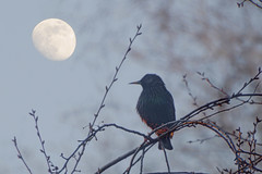 Ночной певец (PahaKoz) Tags: весна природа сад птица скворец ветки луна вечер закат spring nature garden bird starling branches moon evening even eventide sunset