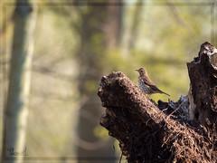song thrush (Thomas Heuck) Tags: singdrossel thrush vogel bird natur nature wildlife greifswald fauna olympus em1markii wald forest