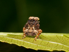 Tiny leafhopper nymph, Fulgoridae? (Eerika Schulz) Tags: leafhopper zwergzikade zikade cicada ecuador puyo eerika schulz fulgoridae