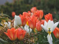 Gorgeous Tulips - (Irene, W. Van. BC) Tags: gorgeous white garden flowers allflowers beautifulflowers wonderfulflowers beautifulpetals petalpower blooms blossoms petals gardenscenes outdoors outdoorscenes nature awesomenature beautifulnature wonderfulnature 1001nightsthenew 1001nightsmagiccitythenew magicgardens
