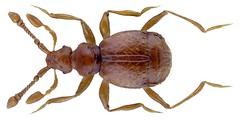 Tychobythinus glabratus (Rye, 1870) (urjsa) Tags: coleoptera kaefer beetle insect staphylinidae tychobithinus glabratus tychobithinusglabratus britain england taxonomy:binomial=tychobithinusglabratus taxonomy:order=coleoptera taxonomy:family=staphylinidae taxonomy:genus=tychobythinus taxonomy:species=glabratus geo:country=england coleopteraus insekt