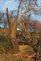 Abendlicht (p h o t o . w o r l d s) Tags: seebenerberge abendlicht eveningsun natur bäume holz fujis5pro photoworlds nikkor3570mm28