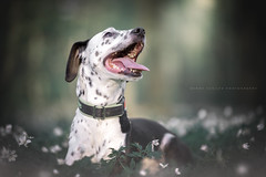 Sally (jahbalaha) Tags: ifttt 500px spring 2019 dog flowers forest sally dalmatian portrait green white black expression
