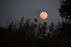 fullmoon beyond the flowers (athanecon) Tags: moon fullmoon moonrise lunar flowers hill nature plants