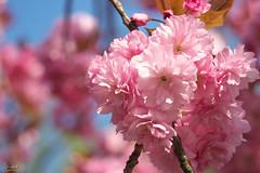 Kirschblüte - Auf dem Langen Kampe (2) (do25mi02nik85) Tags: bielefeld owl ostwestfalen baum blüte kirsche rosa aufdemlangenkampe 5kanton frühling