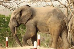 Savanna elephant, Mole Motel, Mole National Park, Ghana (inyathi) Tags: africa westafrica ghana africananimals africanwildlife africanelephants savannaelephants loxodontaafricana molenationalpark molemotel