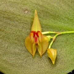 Miniature Orchid, Lepanthes helicocephala (Ecuador Megadiverso) Tags: andreaskay ecuador jardinbotanicolasorquideas lepantheshelicocephala orchid