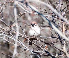 Eurasian tree sparrow (P. Burtu) Tags: eurasian tree sparrow sverige bird sweden fågel buske bush animal djur natur nature outdoor spring vår pilfink europe