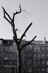 2019-04-18-083542_bw (Schmidtze) Tags: architektur baum berlin berlinpankow blackandwhite bornholmerstrase building einfarbig gebäude haus olympusem1markii olympusm12100mmf40 pflanze prenzlauerberg schwarzweis stadt wohnhaus menschenleer deutschland