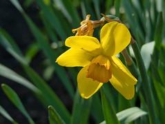 Daffodil In Shade (mmorriso2002) Tags: flower daffodil yellow shade garden backyard