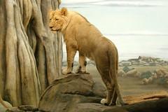 Milwaukee County Zoo (Tiger_Jack) Tags: zoo zoos zoosofnorthamerica itsazoooutthere milwaukeecountyzoo milwaukeezoo lions lion bigcat bigcats flickrbigcats