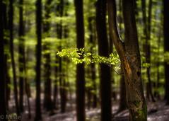 Frühlingsgrün im Pfälzerwald (Pfalzknipser) Tags: bäume landschaft lichtstimmung wald