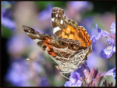 IMG_8363 Just Read the Mueller Report 6-25-17 (arkansas traveler) Tags: butterfly paintedlady paintedladybutterfly bichos bugs insects flowers sage lavender telephoto zoom nature naturewatcher natureartphotography