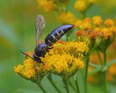 Sand Wasp (milesizz) Tags: sandwasp bicyrtesquadrifasciatus apoidwasps apoidea sphecida crabronidae bembicinae sandwasps bembicini bembicina bicyrtes wisconsin wi milwaukee