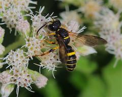 Weevil wasp (milesizz) Tags: apoidwasps apoidea crabronidae philanthinae cercerini cerceris wisconsin wi milwaukee hymenoptera