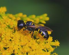 Square-headed Wasp (milesizz) Tags: squareheadedwasp aculeata crabronidae crabroninae crabronini crabronina ectemnius wisconsin wi milwaukee hymenoptera ectemniusmaculosus