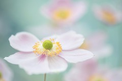 One Life (Anna Kwa) Tags: japaneseanemone anemonepinksaucer flowers macro nature bokeh annakwa nikon d750 1050mmf28 my onelife whatmatters love always seeing heart soul throughmylens life journey fate destiny louistomlinson twoofus