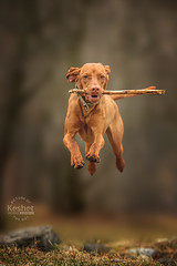 Picture of the Day (Keshet Kennels & Rescue) Tags: adoption dog ottawa ontario canada keshet large breed dogs animal animals pet pets field nature photography vizsla boing jump stick leap red