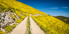 Road Through the Goldfields (Kurt Lawson) Tags: blooming california carrizo dirt flowers gold goldfield monument mountain national plain range road slope spring superbloom temblor wildflower wildflowers yellow