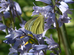 Butterfly Beauty (river crane sanctuary) Tags: large white butterfly rivercranesanctuary nature