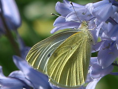 Large White on Bluebell (river crane sanctuary) Tags: large white butterfly rivercranesanctuary nature