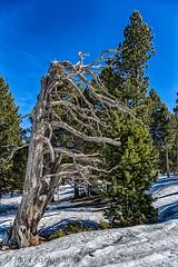 NATURALEZA  MUERTA (juan carlos luna monfort) Tags: arbol nieve tuixent hdr montaña paisaje nikond7200 sigma1750 calma paz tranquilidad