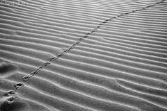 Tracks in the dunes (Ken'sKam) Tags: tracks sand sandhills sanddune ripples monahanssandhillssp desert texas monochrome blackandwhite bw abstract