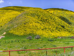 Who Spilled The Mustard (davidseibold) Tags: canonpowershota95 america barbedwirefence carrizoplainnationalmonument coloryellow fence jfflickr nationalmonuments nationalparks nature photosbydavid plant postedonello postedonflickr sanluisobispocounty sky tree unitedstates usa wildflower