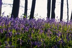 (monforklick) Tags: hasenglöckchen bluebells wald doveren