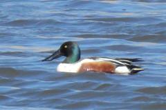Northern Shoveler Duck, Anas clypeata, Male (1) (Herman Giethoorn) Tags: northernshoveler duck waterfowl bird