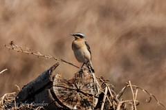 Wheatear (Johnchess) Tags: richmondpark fridaybirdgroup 19april2019