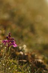Early Purple Orchid (Derbyshire Harrier) Tags: earlypurpleorchid dew whitepeak limestone karst derbyshire orchismascula peakdistrict peakpark purple backlighting backlit goodfriday easter 2019 april