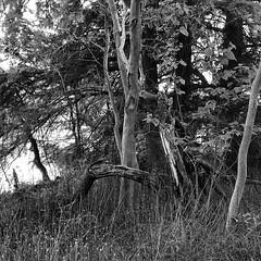 Colorado River Bank at Dusk (woody lauland) Tags: austin texas austintx atx tx traviscounty texashillcountry nature landscape trees river blackandwhite bnw monochrome