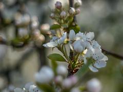 Williams Christ (BeMo52) Tags: backlit birne blüte flora flower fruit garten macro makro natur nature obst pear pentaconauto50mmf18mc