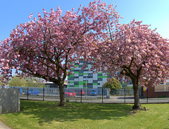 Spring colour in Preston near the UCLan (Tony Worrall) Tags: preston lancs lancashire city welovethenorth nw northwest north update place location uk england visit area attraction open stream tour country item greatbritain britain english british gb capture buy stock sell sale outside outdoors caught photo shoot shot picture captured ilobsterit instragram photosofpreston cherryblossom tree nature pink color colours beauty spring uclan mediabuilding university