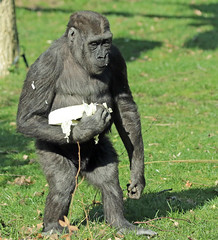 western lowlandgorilla Burgerszoo 094A1180 (j.a.kok) Tags: aap animal africa afrika ape mammal monkey mensaap primate primaat zoogdier dier gorilla westelijkelaaglandgorilla westernlowlandgorilla lowlandgorilla laaglandgorilla burgerszoo