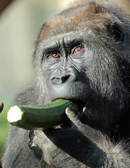 western lowlandgorilla Makoua Burgerszoo 094A1176 (j.a.kok) Tags: aap animal africa afrika ape mammal monkey mensaap primate primaat zoogdier dier gorilla westelijkelaaglandgorilla westernlowlandgorilla lowlandgorilla laaglandgorilla burgerszoo