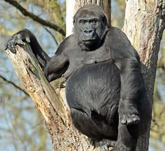western lowlandgorilla N`Gayla Burgerszoo 094A1265 (j.a.kok) Tags: aap animal africa afrika ape mammal monkey mensaap primate primaat zoogdier dier gorilla westelijkelaaglandgorilla westernlowlandgorilla lowlandgorilla laaglandgorilla burgerszoo