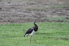 Abdims Stork (Robert Styppa) Tags: tanzania nikon nikond850 robertstyppa africa wildlife serengeti ngorongoro abdimsstork