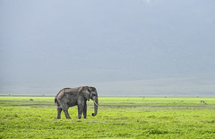 Elephant (Robert Styppa) Tags: tanzania nikon nikond850 robertstyppa africa wildlife serengeti ngorongoro elefant elephant