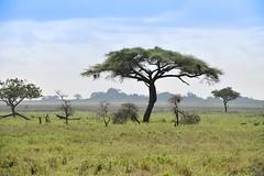 Serengeti (Robert Styppa) Tags: tanzania nikon nikond850 robertstyppa africa wildlife serengeti ngorongoro